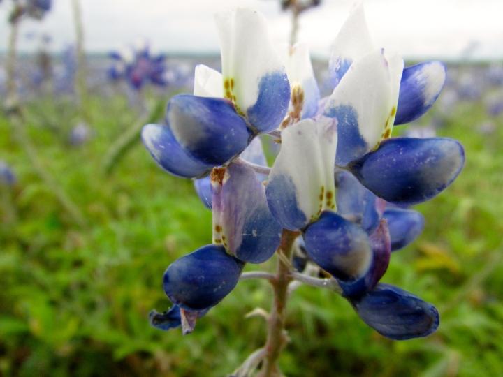Bluebonnets at Black Rock Lake Park, Texas - April 2015